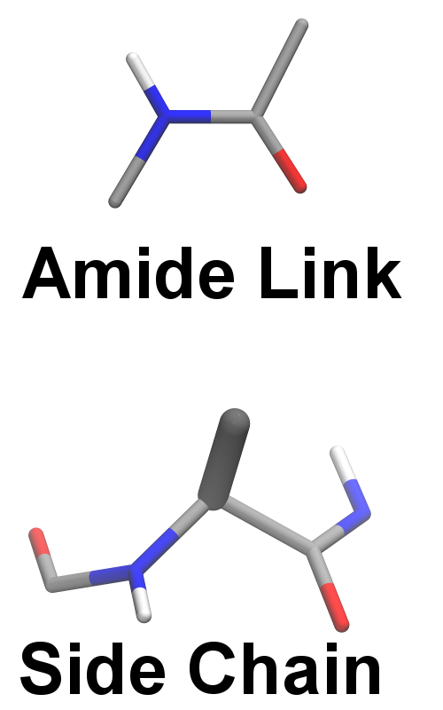 The amide bond links amino acids into a polypeptide chain. It is rigid because of the partial double bond character. Amino acid side chains, however, are bonded at the alpha carbon, which can rotate.